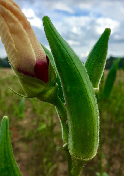 Summer in Appalachia is the time to direct-seed things such as beans, squash, and okra.