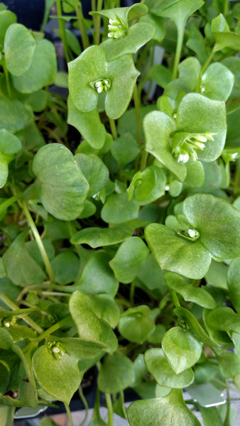 Claytonia Miners Lettuce common name comes from the fact that during the California Gold Rush, miners often dined on this indigenous plant.