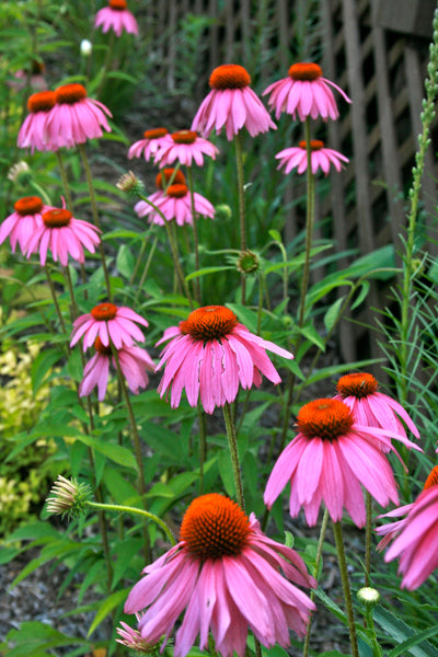 Echinacea can reduce flu symptoms and duration of the flu by naturally boosting your bodies ability to increase blood cell production.