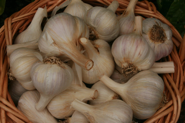 Pre-Order garlic any time of the year from Sow True Seed, offering non GMO, and organic garlic varieties.