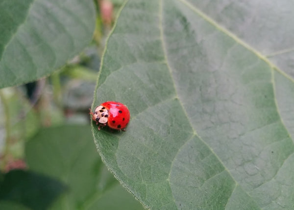 Ladybugs / Ladybirds or man beetles are known the eat aphids