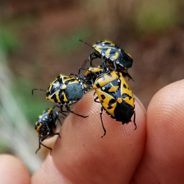 Harlequin bugs are orange and black shield bugs that cause a lot of damage.