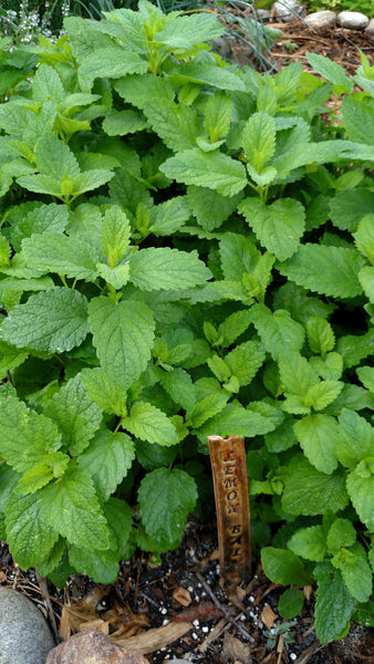 Lemon Balm Herbal is great for an herbal tea infusion.