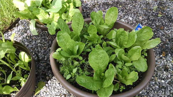 Summer time lettuce growing tips from Sow True Seed, heirloom, open pollinated, non GMO, and USDA organic seed.
