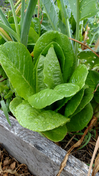 Growing lettuce in containers is a great idea if you have limited gardening space!