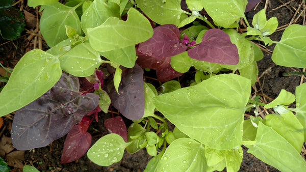 For a colorful addition to your fall garden, grow orach, also known as mountain spinach due to its similarity in flavor.