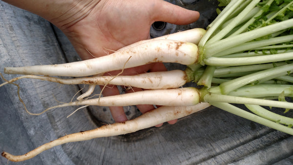 Daikon radish are great for breaking up the soil with its large root system in the winter preventing tilling in the spring.