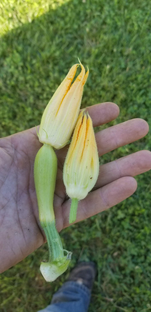 Male and Female Squash Blossoms