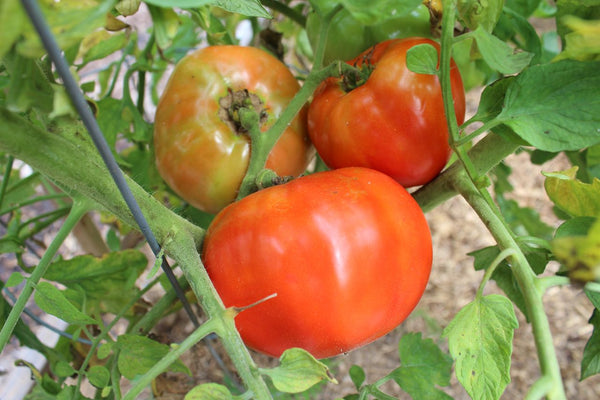 July is the best time in the Appalachia to harvest heirloom tomatoes, and fight blight!