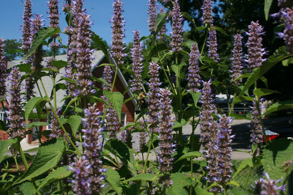 Anise Hyssop: an Easy Edible Perennial – Sow True Seed