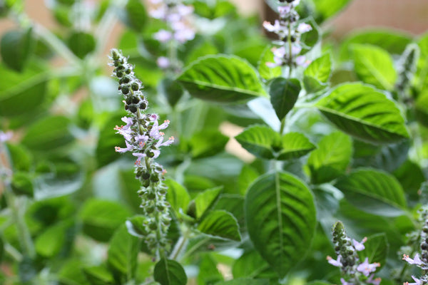 Tulsi Holy Basil is an easy herb to grow and dry later for herbal teas.