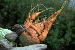 Hairy and Forked Carrots