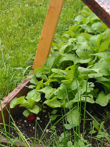 Radishes in a Cold Frame