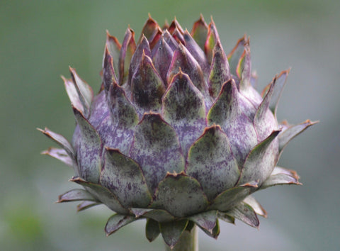 Cardoon Flower Bud