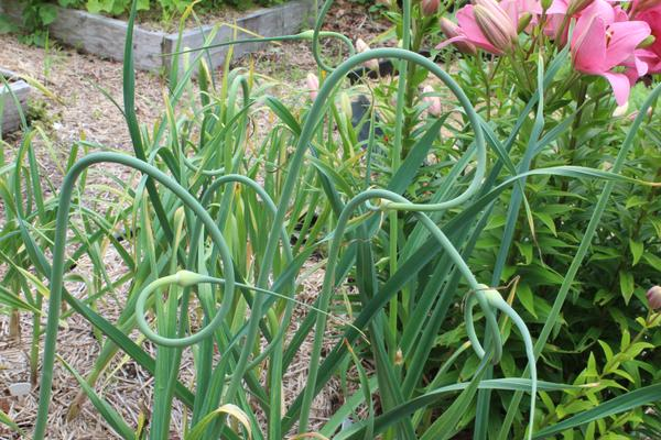 garlic scapes ready for harvest