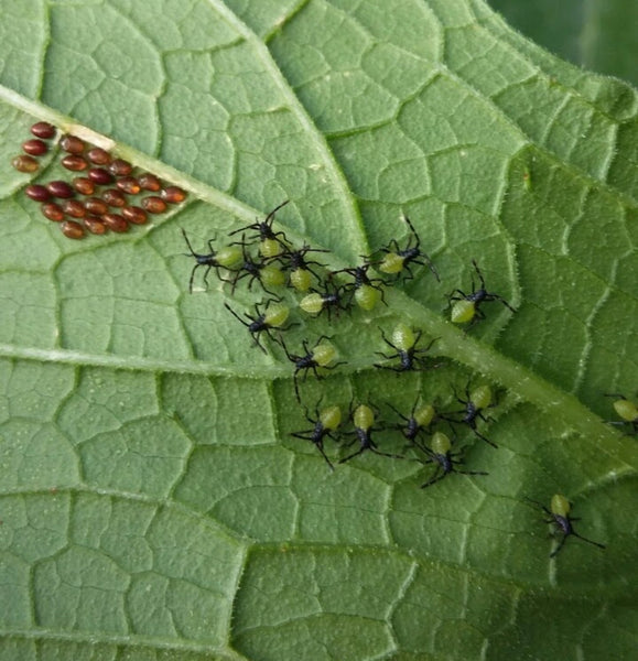 Squash bug eggs and nymphs on underside of leaf