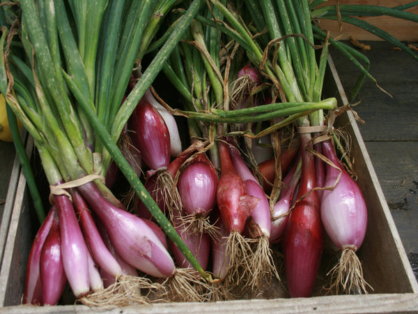 When you purchase your onion sets it is best to put them in moist soil as soon as possible.