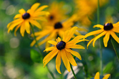 Black Eyed Susan Flower Foreground and Background