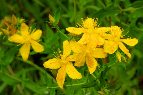St John's Wort  is best used topically to reduce skin inflammation or nerve pain as infused oil.