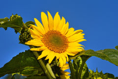 Large Yellow Sunflower on Blue Sky