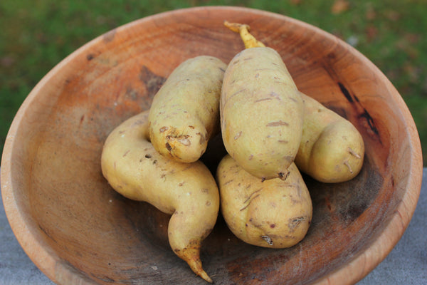 O'Henry Sweet Potato  Grow your own
