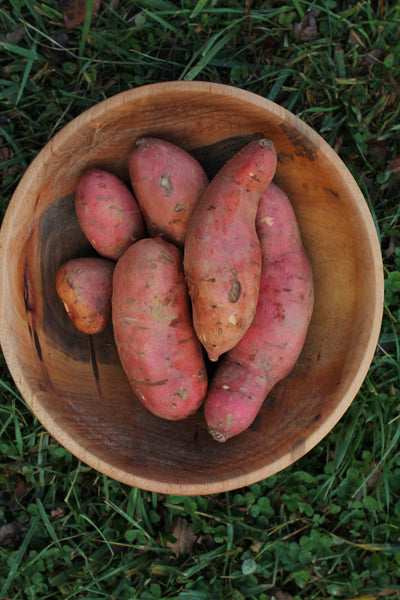 Beauregard Sweet potato- Grow your own
