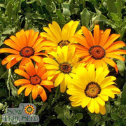 Daisy - African Flake - Sow True Seed