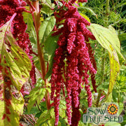 Amaranth Seeds- Love Lies Bleeding - Sow True Seed