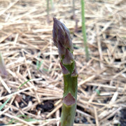 Asparagus - Mary Washington CROWNS - Sow True Seed