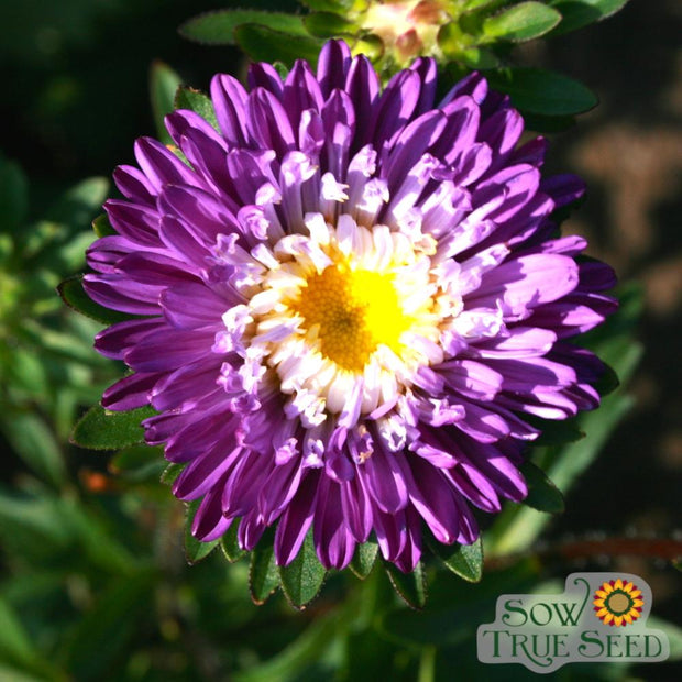 Aster - Single Rainbow - Sow True Seed