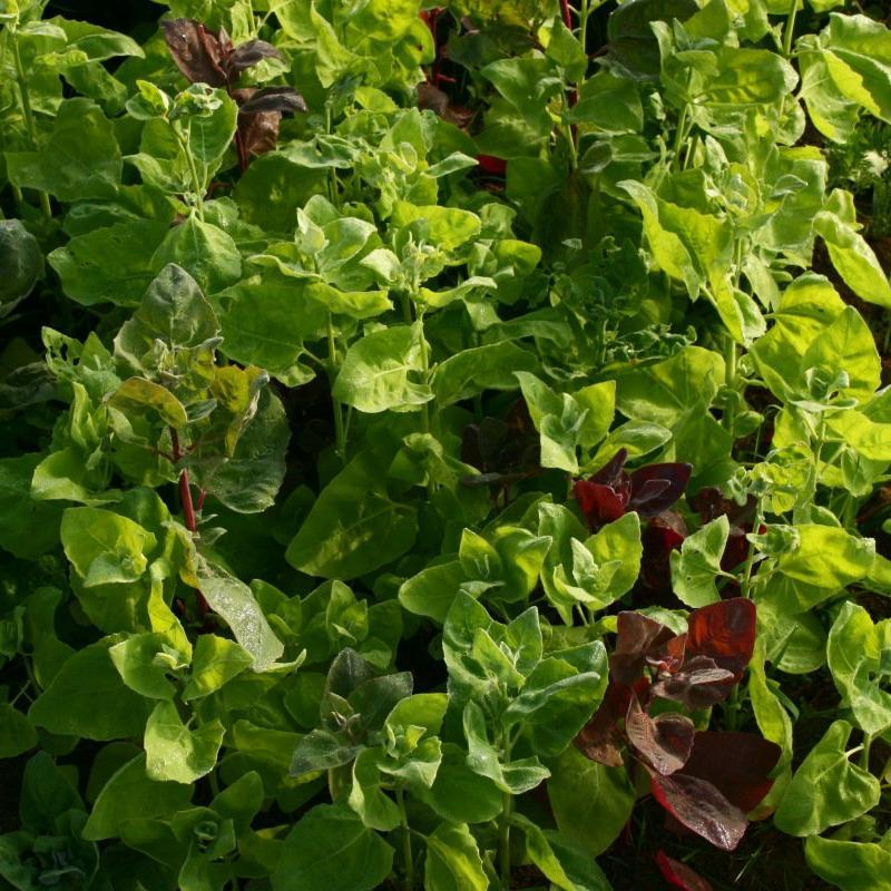 Organic Orach seeds - Aurora : Annual colorful leaf vegetable with spinach-like taste.