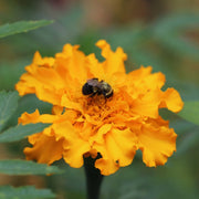 Marigold - Aztec - Sow True Seed