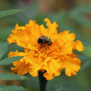 "Marigold seeds - Aztec : Branching upright plants grow 18-36"" tall."
