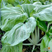 Asian Greens - Pak Choi - Sow True Seed