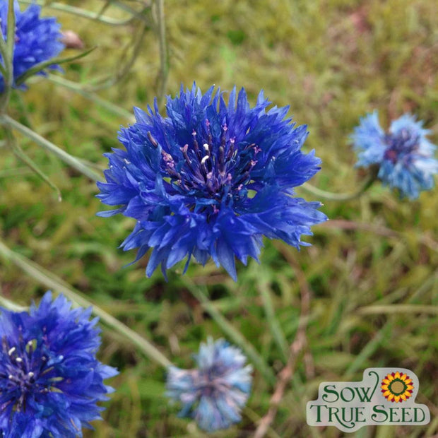 Bachelor Button - Tall Blue - Sow True Seed