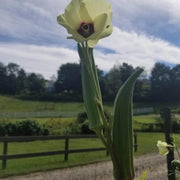 Okra - Bartley - Sow True Seed