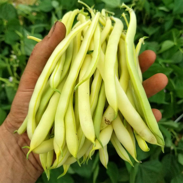 Bush Bean - Cherokee Wax - Sow True Seed