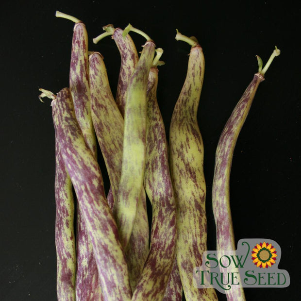 Bush Bean - Dragon Tongue - Sow True Seed