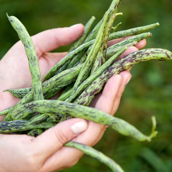 Pole Bean - Rattlesnake - Sow True Seed