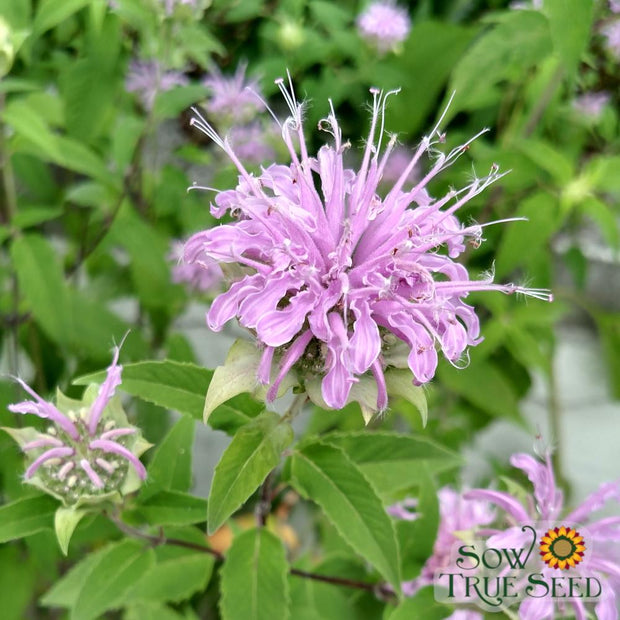 Bee Balm Seeds - Lemon Mint - Sow True Seed