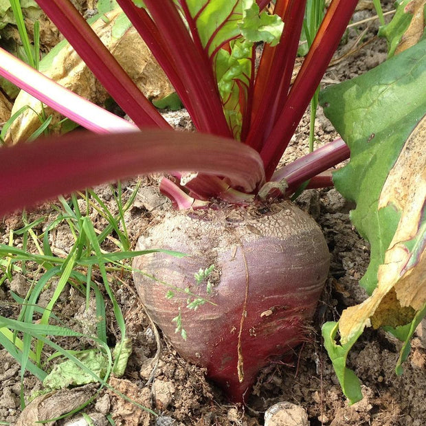 Beet - Bulls Blood - Sow True Seed