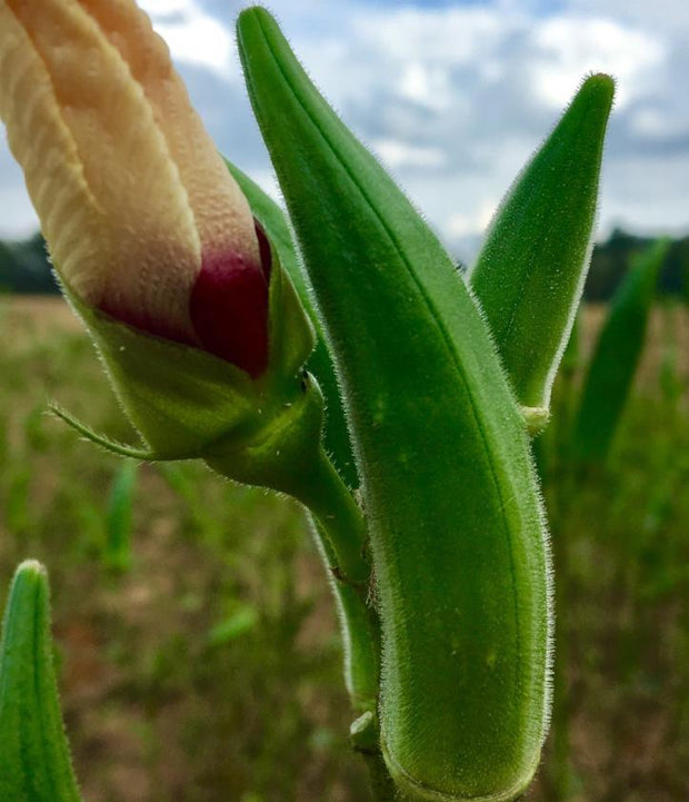 Bradford Family Okra seed, A rare heirloom okra- very sweet and large tender pod.
