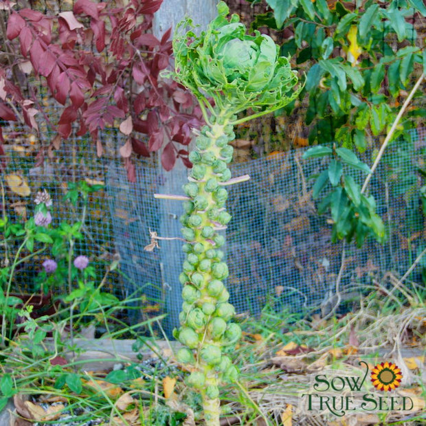 Brussels Sprouts - Long Island Improved - Sow True Seed
