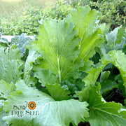 Chinese Cabbage - Michihli - Sow True Seed