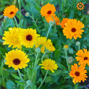Calendula seed - Pacific Beauty : Double-flowering large blooms.