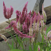 Celosia - Pampas Plume - Sow True Seed