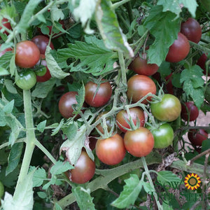 Cherry Tomato seeds - Brown Berry : Indeterminate sweet fruit, heavy yields.