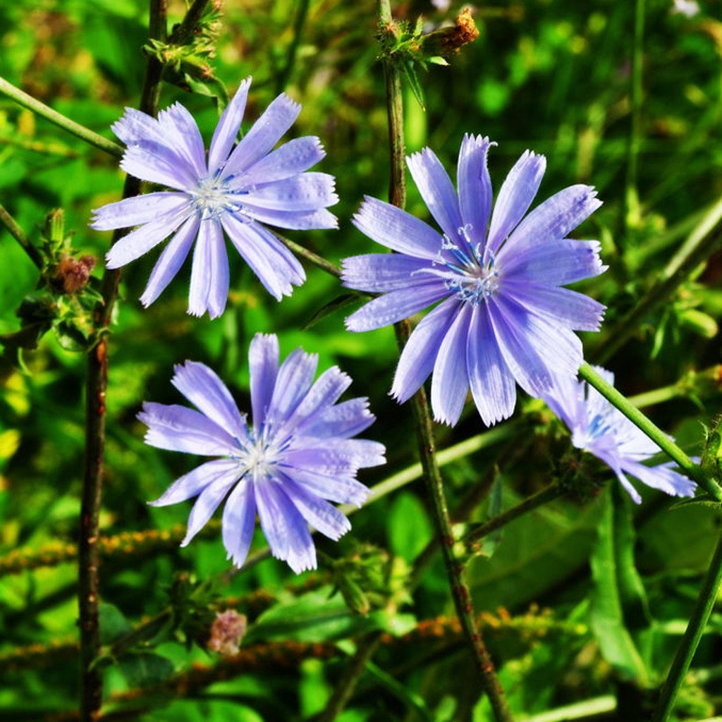 Herb Seed Chicory Blue Flowered Perennial With Medicinal Uses