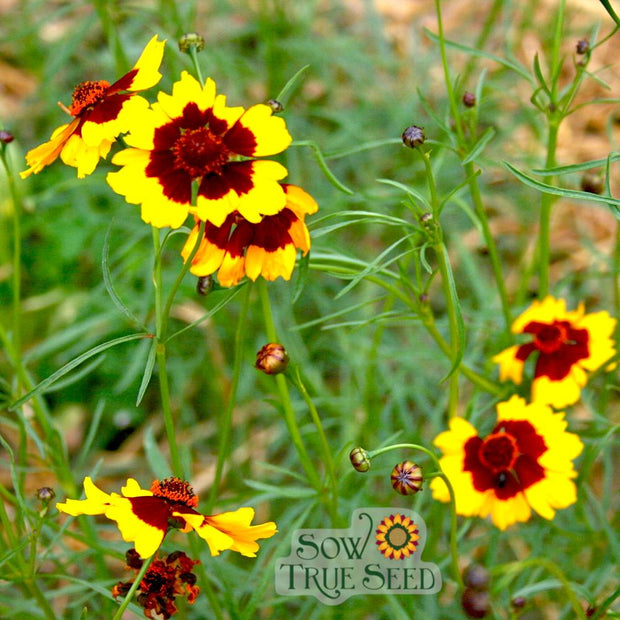Coreopsis Seed - Tall Plains - Sow True Seed