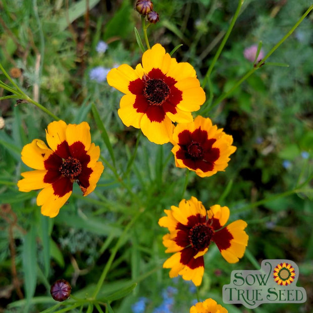 Coreopsis - Tall Plains - Sow True Seed